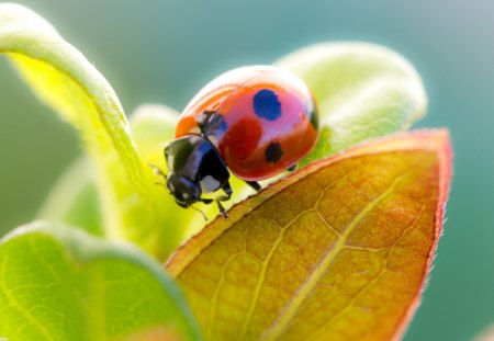 *** Ladybug *** - ladybug, bugs, nature, animals, animal