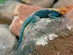 *** Lizard ***