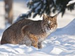 *** Lynx on the snow ***