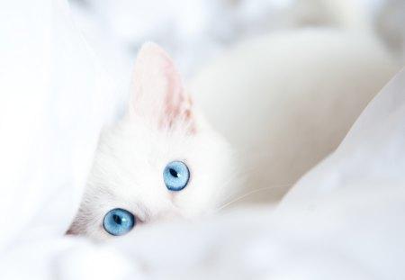 Blue Eyes Cats Animals Background Wallpapers On Desktop Nexus Image 1396339