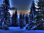 wondrous evergreen forest in winter hdr