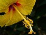 Closeup Yellow Hibiscus