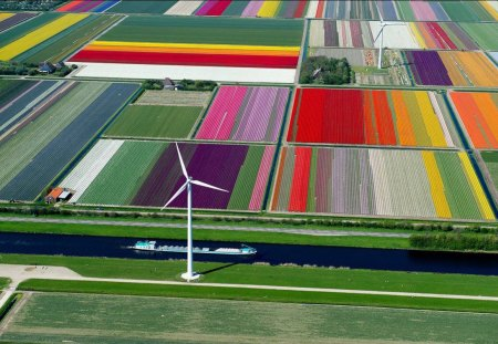 Tulip Farm In The Netherlands - Flowers, Europe, Tulip Farm, The Netherlands