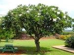 Plumeria Tree 1