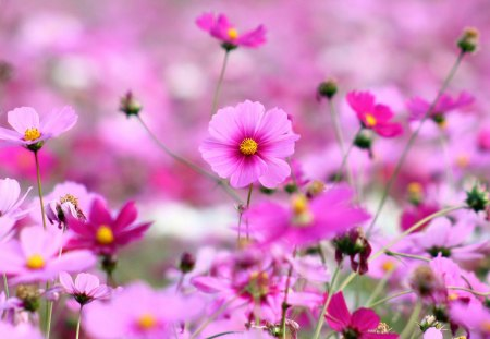 Field of pink flowers flowers nature background wallpapers on field of pink flowers yellow center bunch flowers day nature mightylinksfo