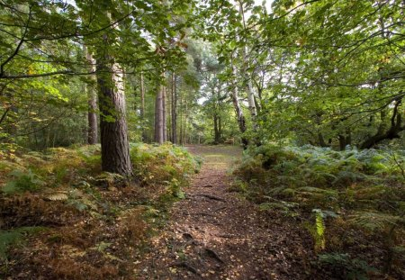 Forest Path - forest, ground, trees, leaves, green, ferns, dirt, path, nature, light