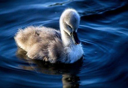 Cygnet - swan, cygnet, water, baby, swim