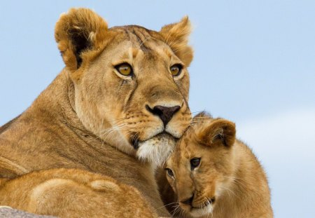 Lions family - Cats & Animals Background Wallpapers on Desktop Nexus (Image 1405118)