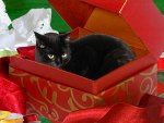 A cat in the gift box