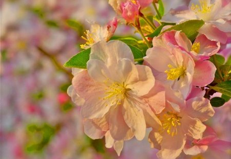 Blossoms in the sun - flowers, cherry, sunshine, pink, blossoms