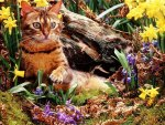 A bengal cat among the daffodils