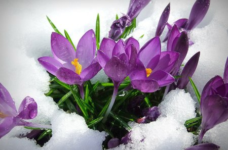 Spring flowers - flowers, cold, nice, nature, beautiful, lovely, snow, winter, spring, pretty, snowy, crocus, violet