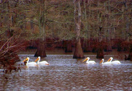 Pelicans Passing - waterfowl, pelicans, white, lake, migrate, winter
