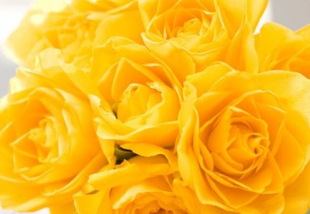 Bunch Of Yellow Roses Flowers Nature Background Wallpapers On
