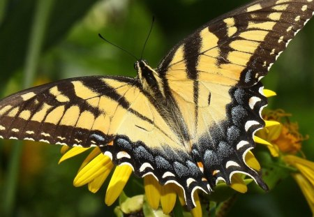 Eastern Tiger Swallow Tail Butterfly - wings, tail, colors, black, yellow, tiger, swallow, butterfly, body, flower, animals