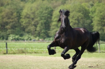 Pure Strenght - netherlands, friesland, friesians, dutch horse, holland, animals, horses