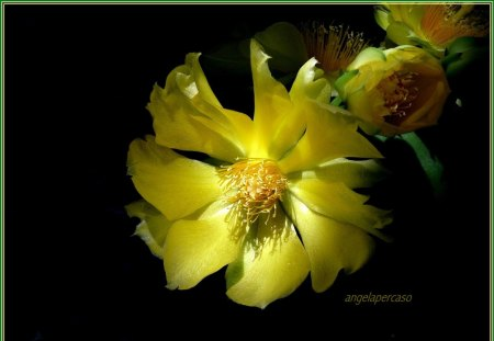 Pianta Grassa Fiori Gialli.Petali Di Velluto Gialli Flowers Nature Background Wallpapers