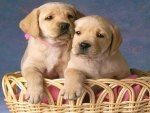 Two cute puppes in basket