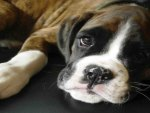 Boxer dog puppy closeup