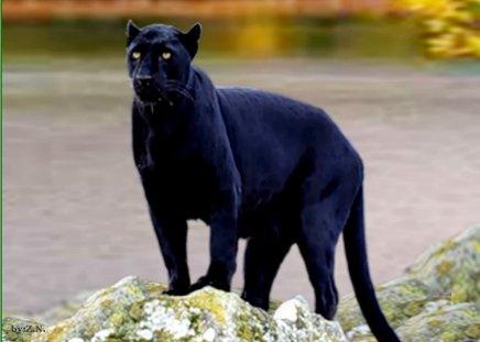 Black Jaguar Cats Animals Background Wallpapers On Desktop Nexus Image 1413395