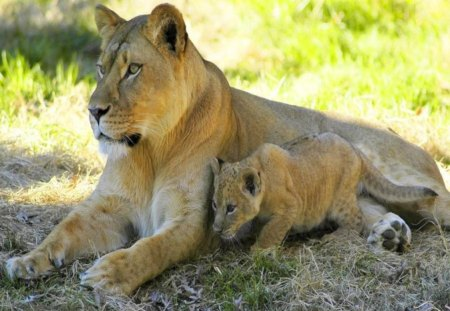 Mother and son - lioness, lion, mother, rest, cub