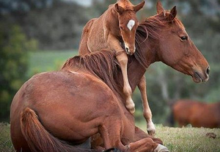Hi Mom! - nature, foal, mother, animals, horses