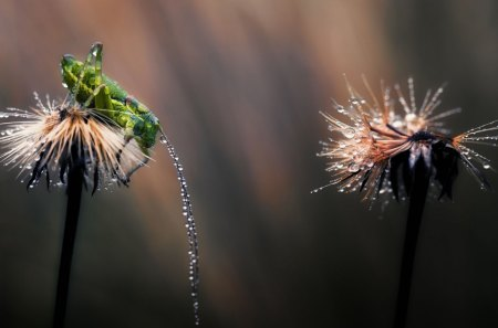 Dandelion - dew, dandelion, nature, cricket