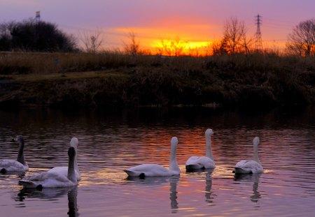 BEAUTIFUL EVENING - evening, lake, swans, swim