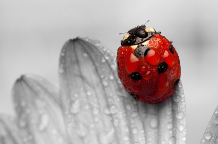 Ladybug - Ladybug, FLOWERS, LADYBUGS, INSECTS, RED