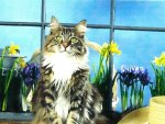 Maine coon cat sitting by some flowers and a hat