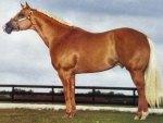 Palomino Quarter Horse 2