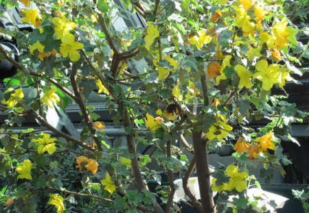 Flannel Bush from North America - garden, Flowers, yellow, photography, Flannelbush, green
