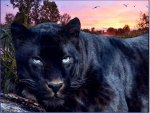 black big cat