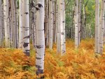 Aspen, Gunnison National Forest, Colorado