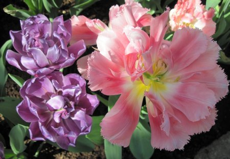 Tulips are spring-blooming 43 - Purple, Yellow, Tulips, photography, Pink, green, garden