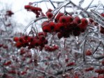 Berries on Ice