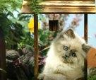 A Himalayn kitten in a wishing well