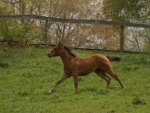 foal galloping on the grass