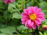 Large Fuschia Colored Dahlia