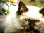 Himalayan cat 2