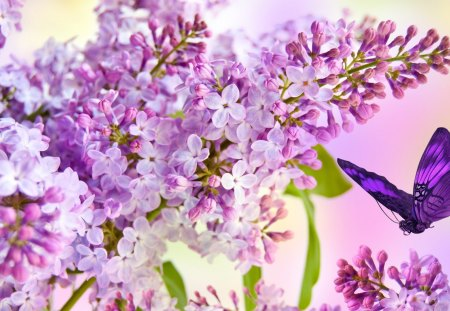 Lilacs blooming flowers nature background wallpapers for Lilac butterfly wallpaper