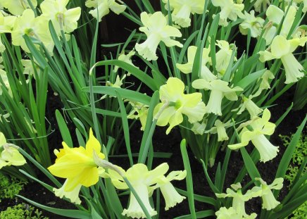 Daffodils celebration day events - garden, Flowers, yellow, photography, green, Daffodils