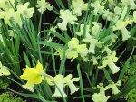 Daffodils celebration day events