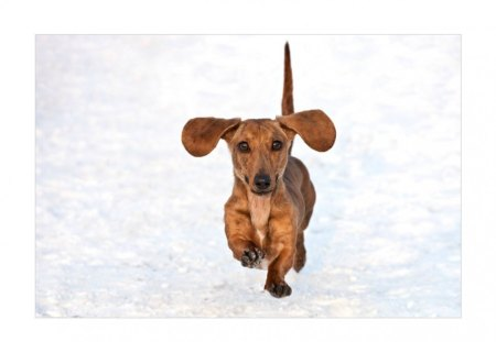 Ready for some action. - pet, dachshund, happy, dog