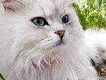 A fluffy persian cat