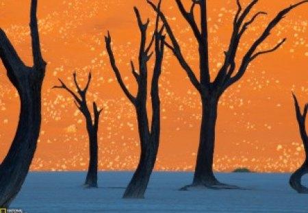 Camel Thorn Trees, Namibia - Namibia, trees, wp, photo