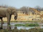 Elephant & Giraffe in Wild Africa