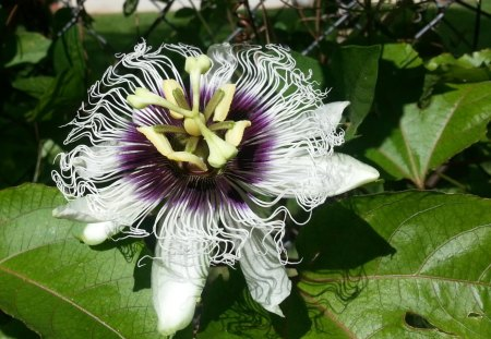 Passion Fruit Flower - yellow, fancy, purple, green