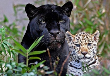 Big Cats - leopard, black panther, cats, animals