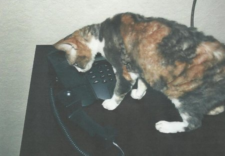 Cat with the phone - calico, phone, cat, feline